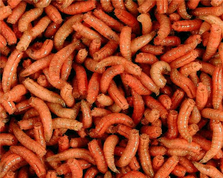 larva oranžová l (1L=600gr.)